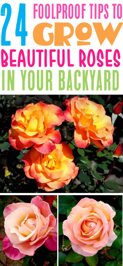 Rose Garden Ideas Backyards Front Yard Landscape Design Tips - Rose Gardening for Beginners to Pros Guide