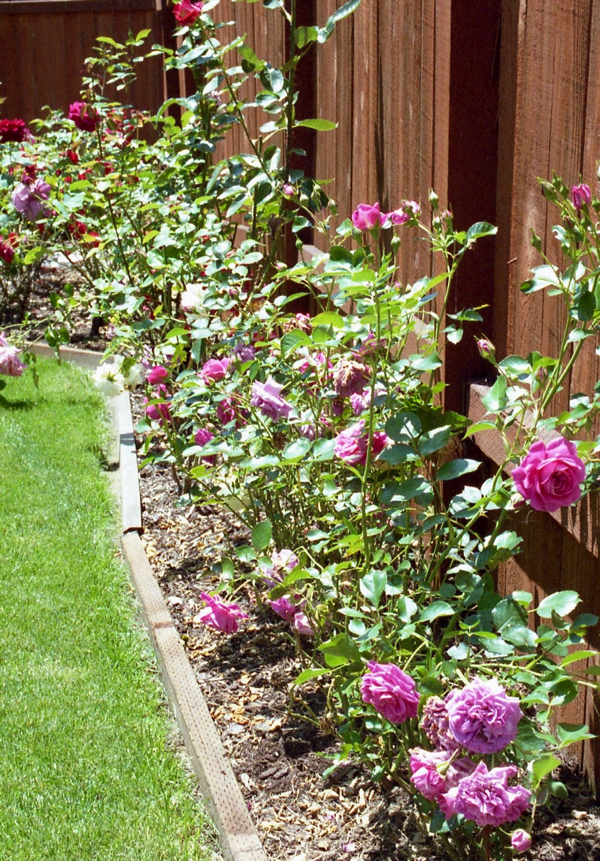 Rose Garden Ideas and Tips from TheFrugalGirls.com