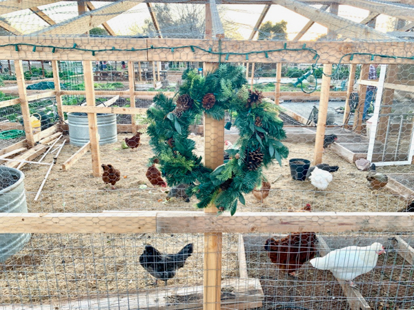 How to Keep Chickens Healthy in Winter