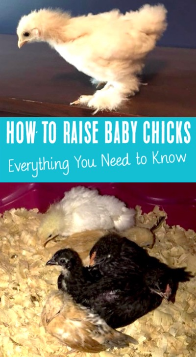 How to Raise Chickens Baby Chicks for Eggs or Meat