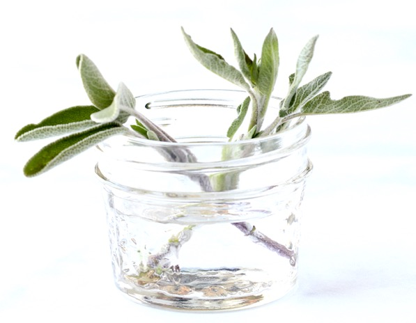 How to Grow Sage from Cuttings in Water Tutorial