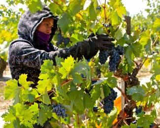 Lodi Marians-zin-harvest-1024x818