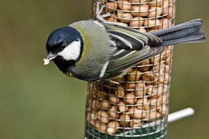 The_Great_Tit_CC_WEB