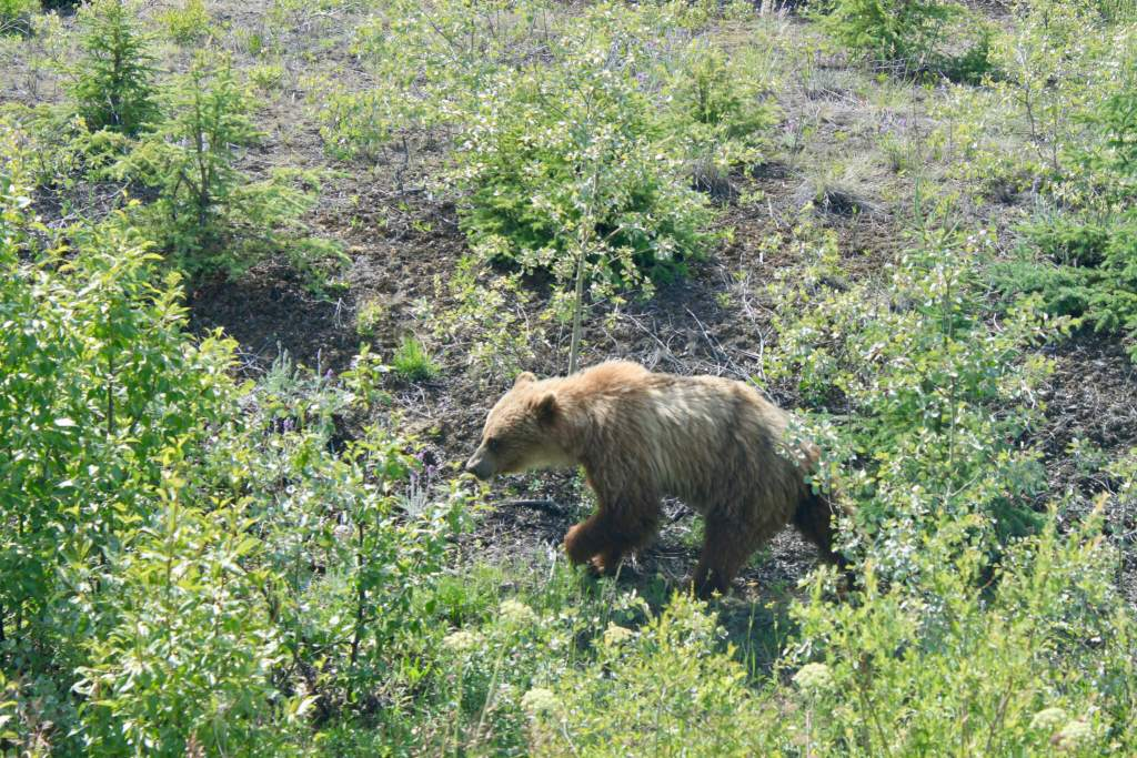 """Grizzly bear wandering through green vegetation. Seeing the """"Big Five"""" is one of the most popular Alaska bucket list items."""