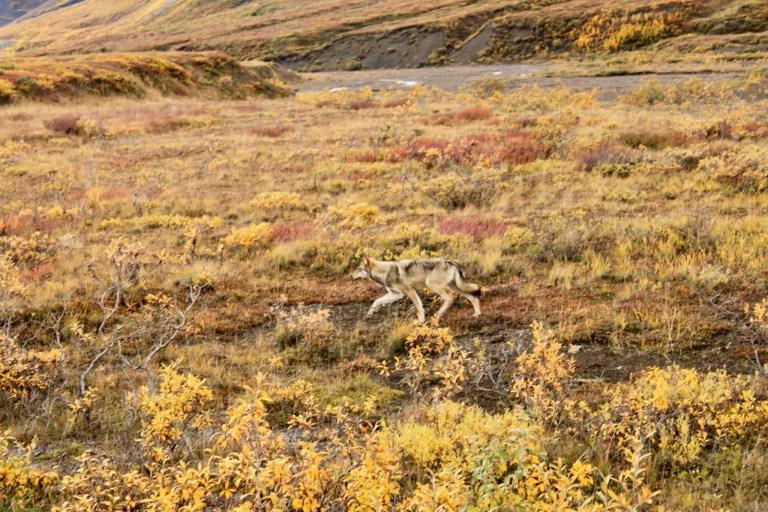 Wolf running in Denali National Park