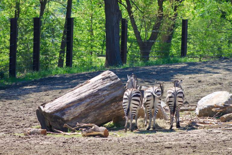 Zebras at the Omaha Zoo