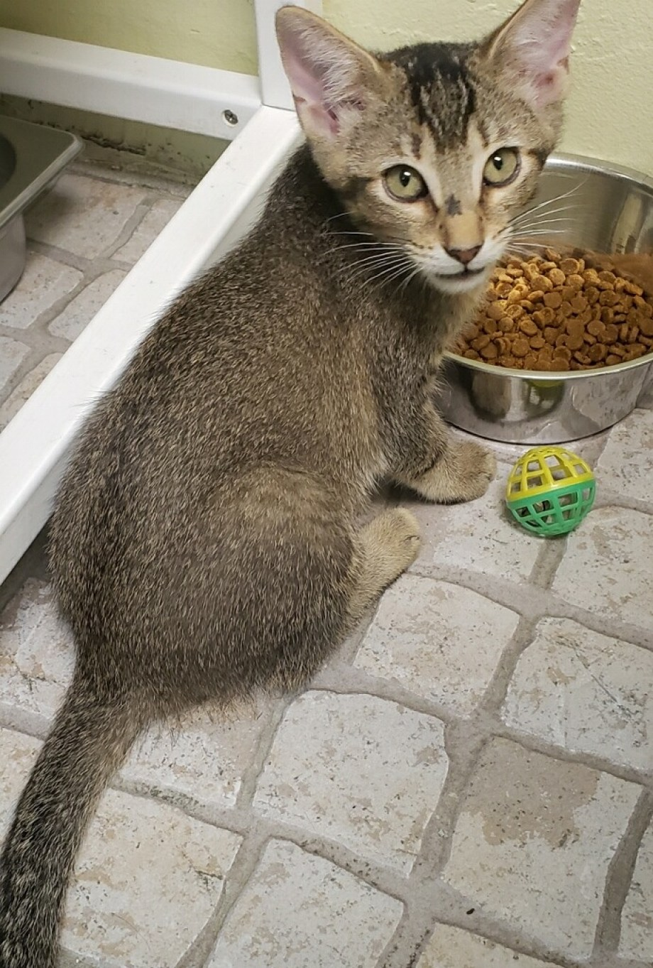 Grey kitten with food bowl