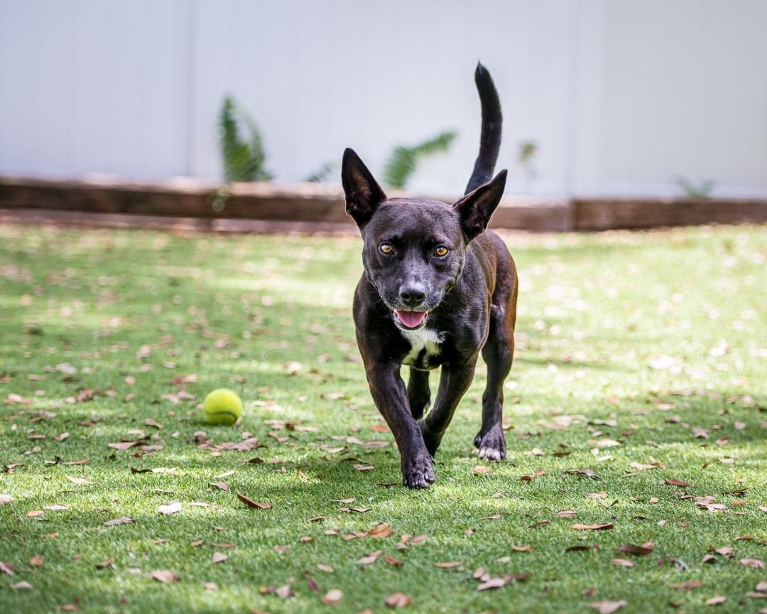 Black dog running on green grass