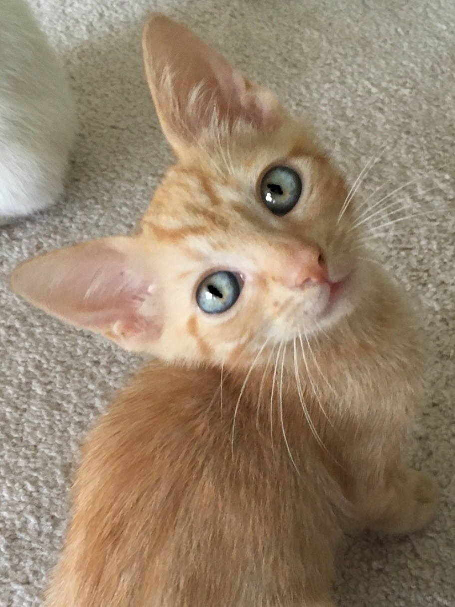 An orange kitten looking up at the camera