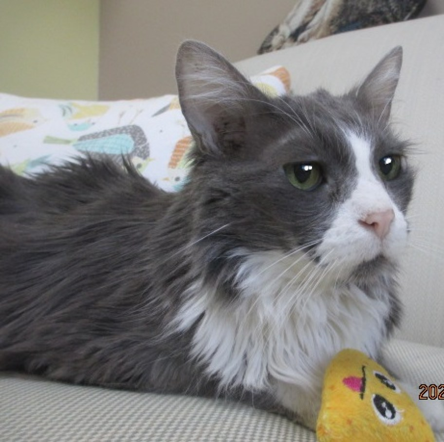 A grey and white cat with a yellow toy