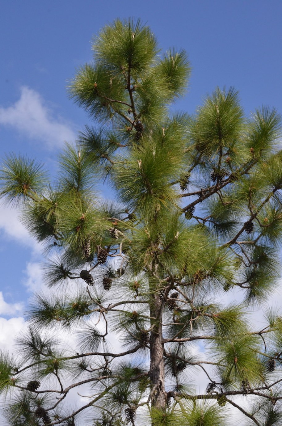 A pine tree with a blue sky and clouds.