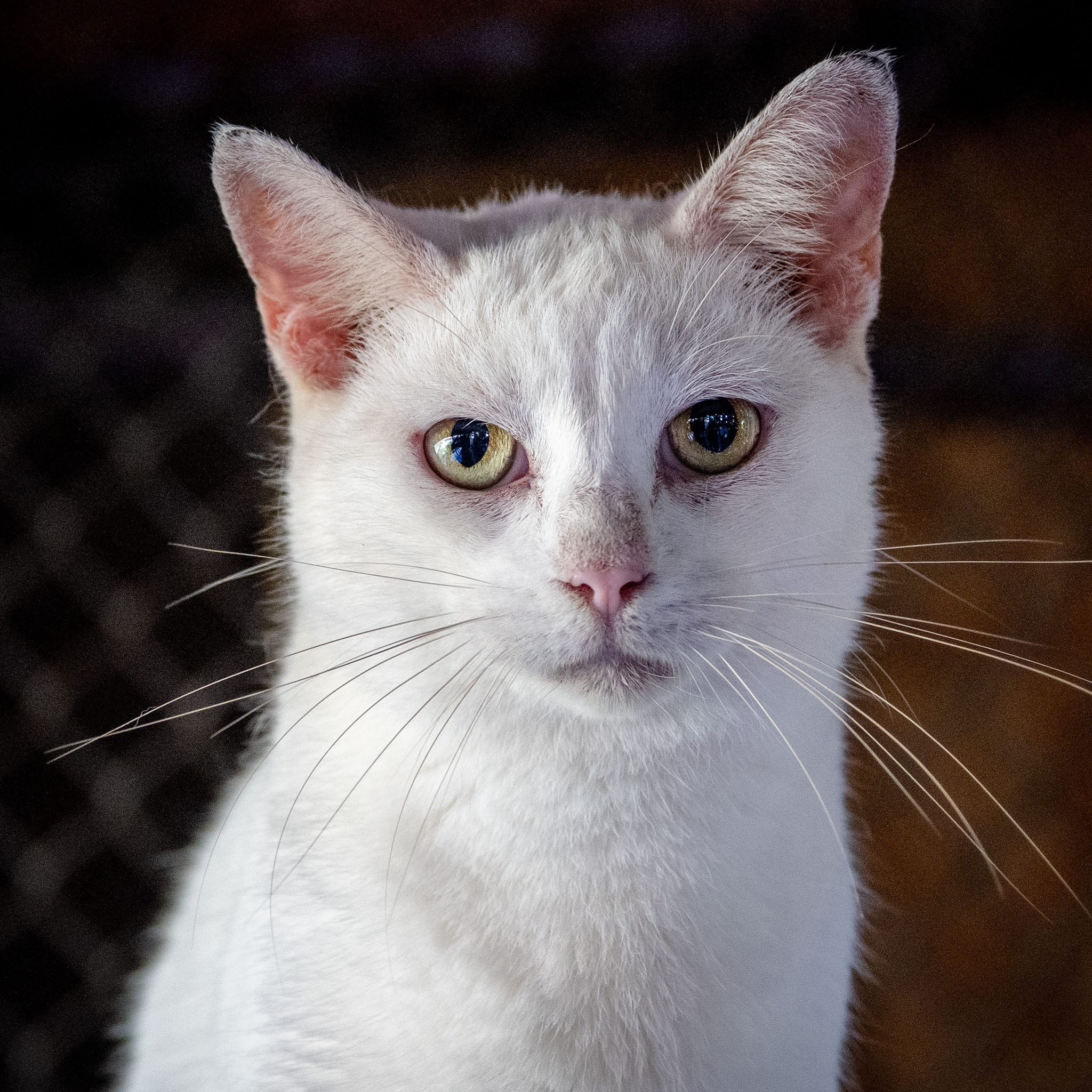 A white cat with orange ears looking at the camera.