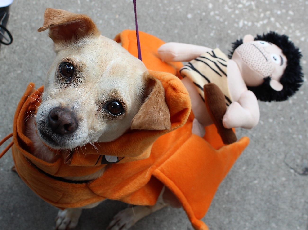 A small brown dog in orange costume looking at the camera