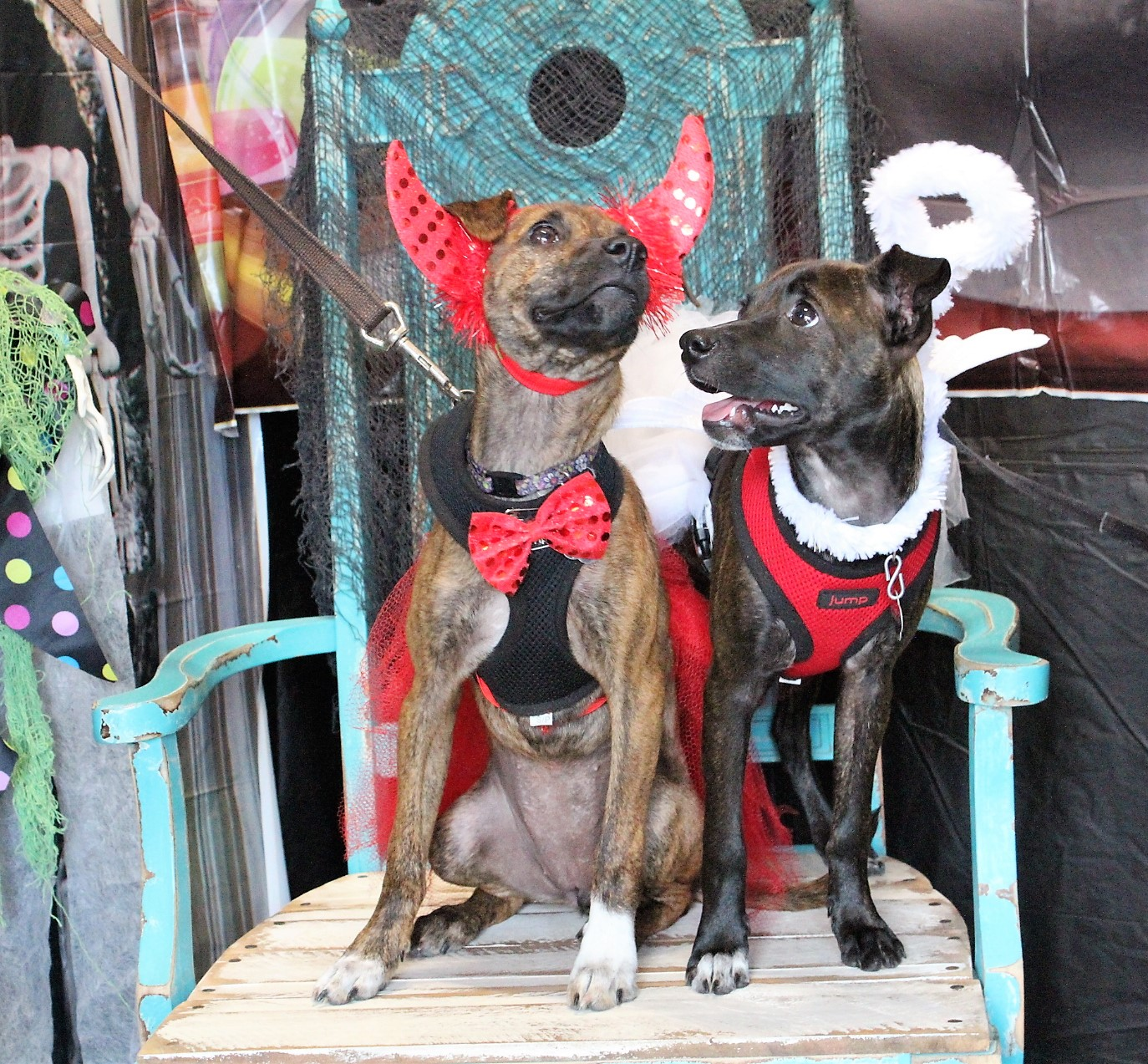 Two dogs in halloween costumes posing for a picture in a large blue chair