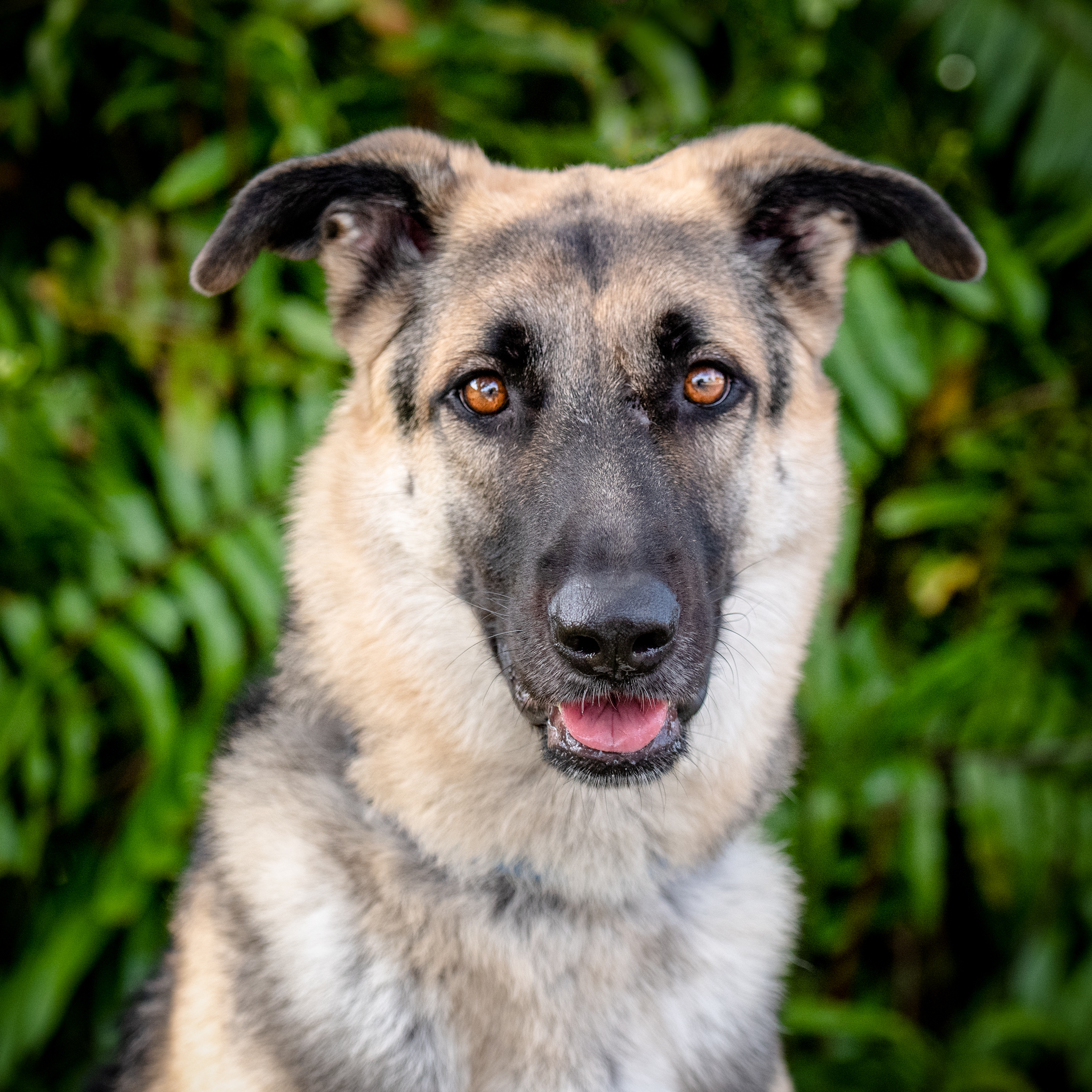A German shepherd dog looks at the camera.