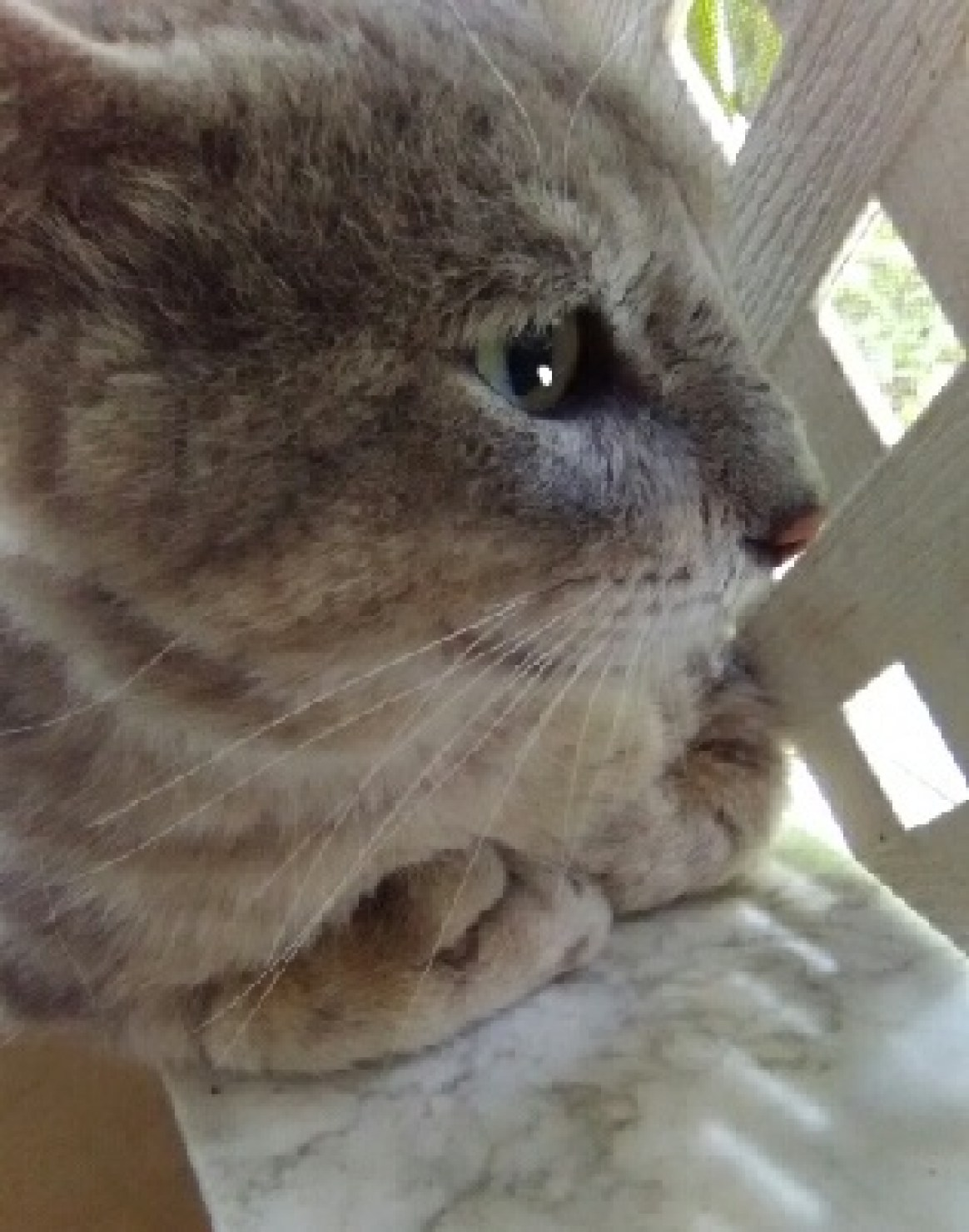 A close up of the face of a gray cat looking out a window.