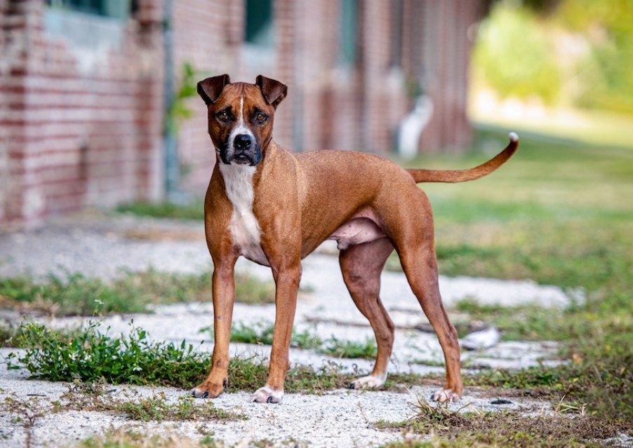A brown boxer-type dog looking at the camera.