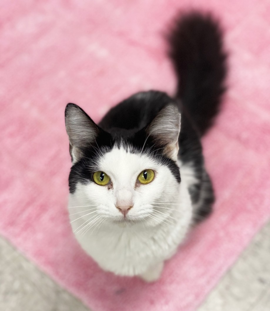 A black and white cat looking at up the camera