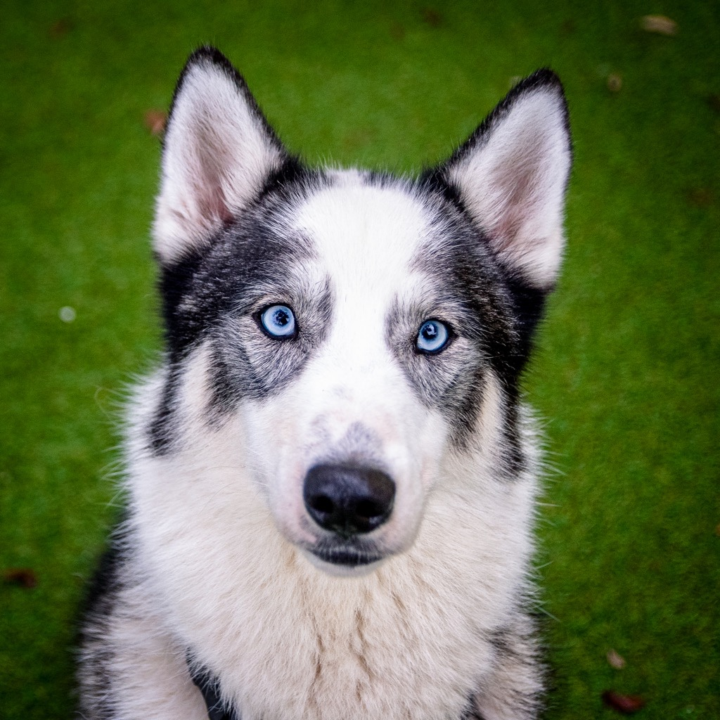 A black and white husky dog with blue eyes.