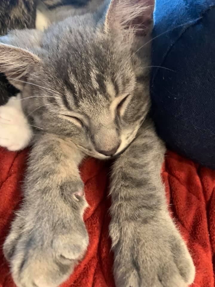 A grey striped cat sleeping with paws out