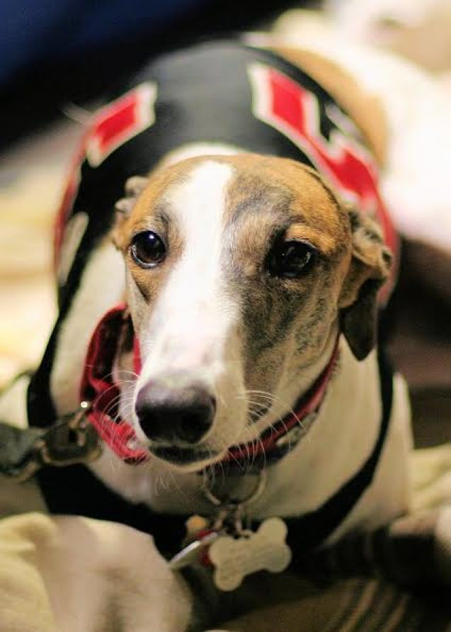 A brown and white greyhound