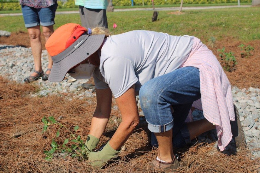 A woman in an orange hat an a face mask plants a small green plant in the ground