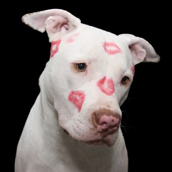 White pit bull with red lipstick stains