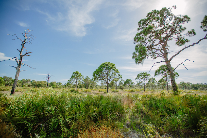 An outdoor photo of a palmetto field with pine trees and a blue sky.