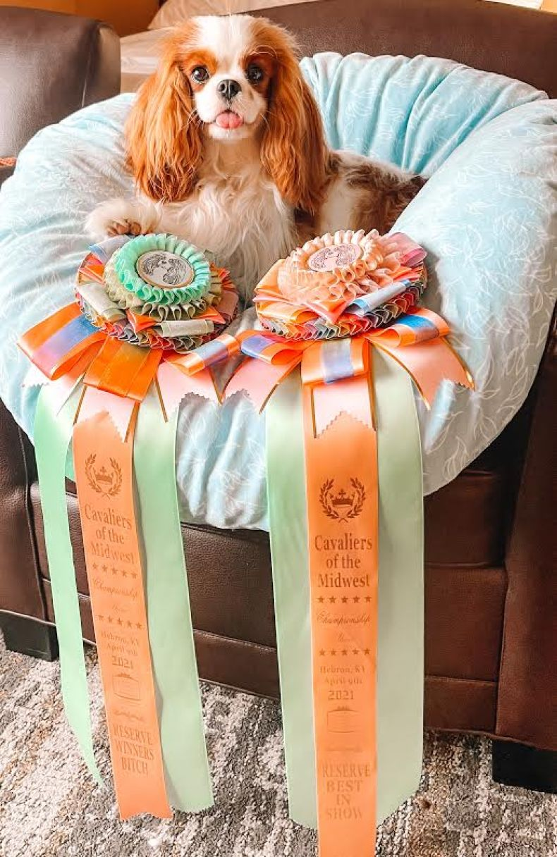 Spaniel with ribbons in a fluffy chair.