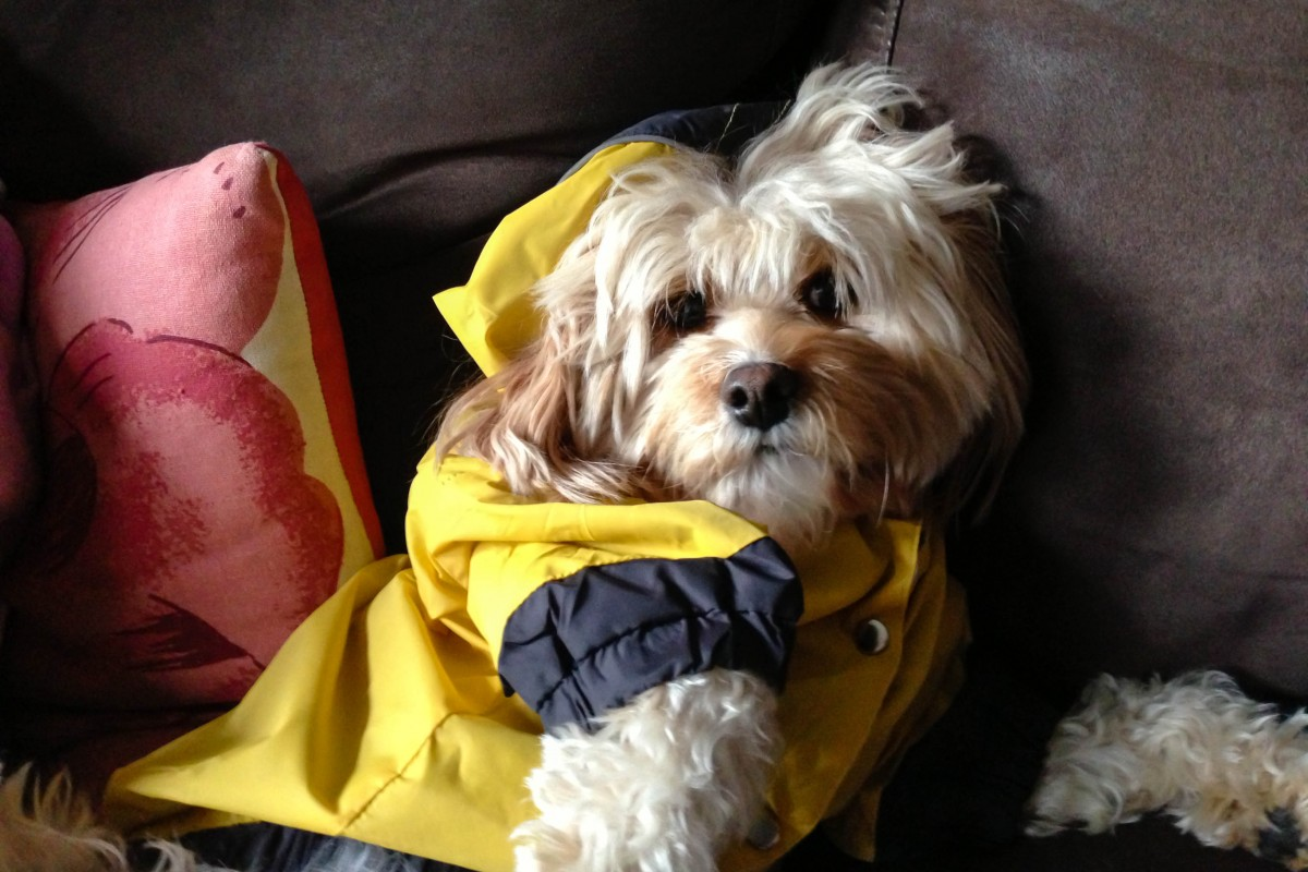 A small fluffy dog in a yellow raincoat.
