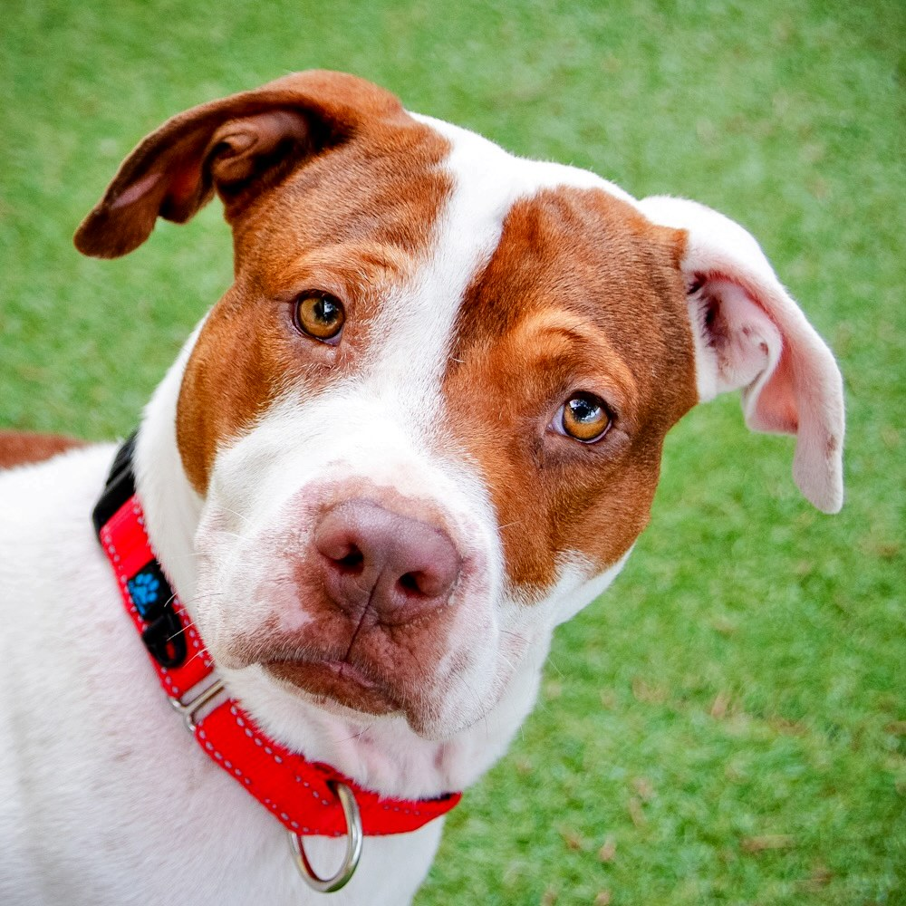 A photo of the head of a brown and white dog with floppy ears and red collar looking at the camera.