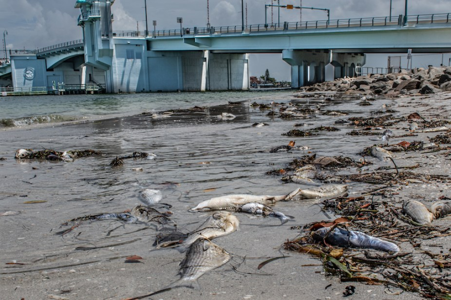 A photo of dead fish washing up on a beach with a blue bridge in the background.