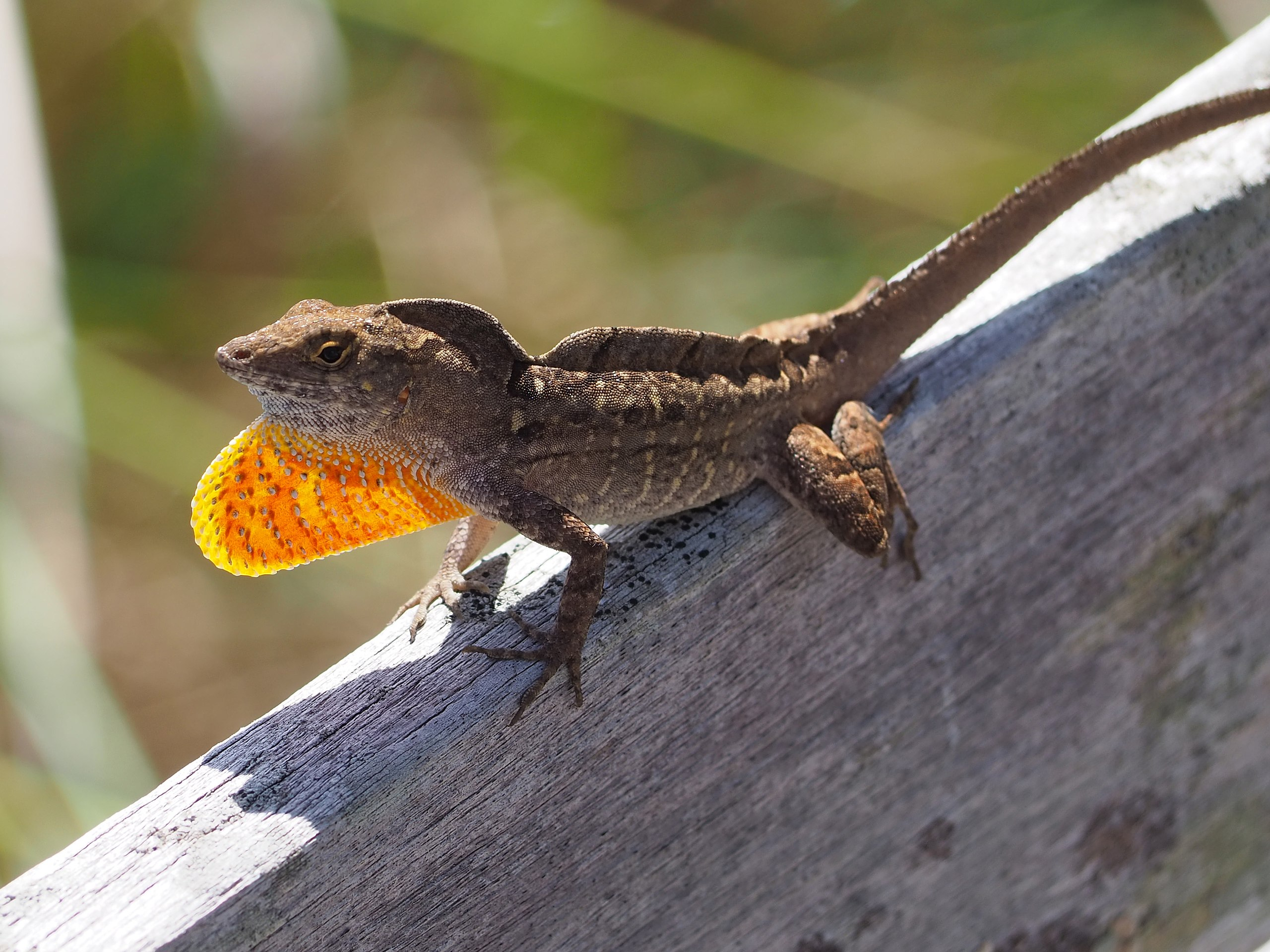 A photo of a brown lizard sitting on a log in the sun with his neck flared out in red.