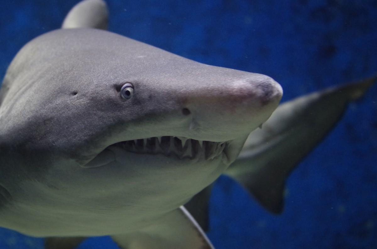 Shark swimming in dark blue water.