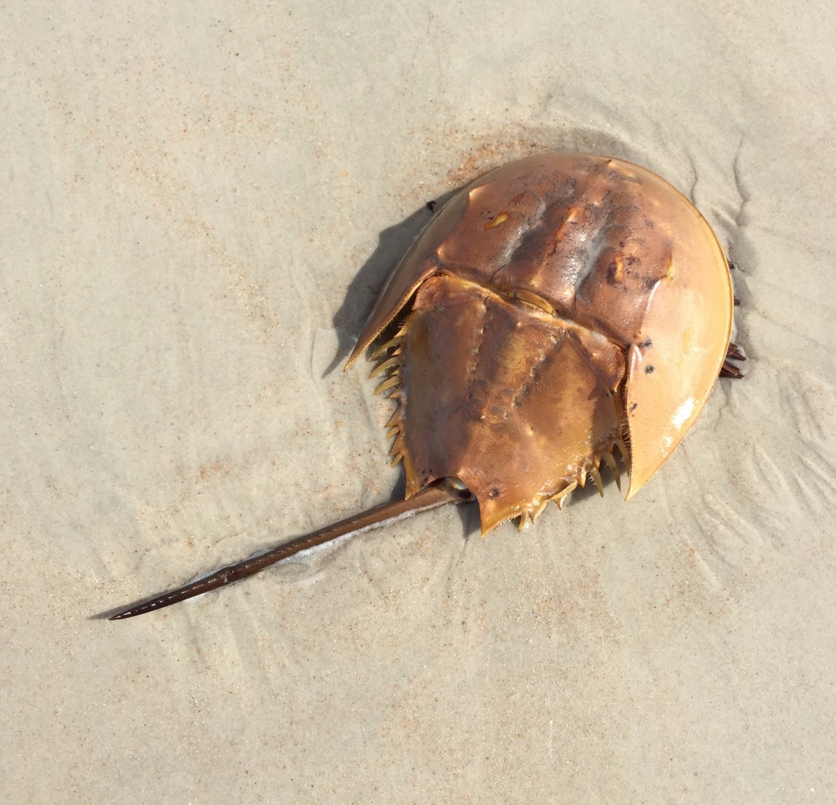 A brown horseshoe crab in the sand
