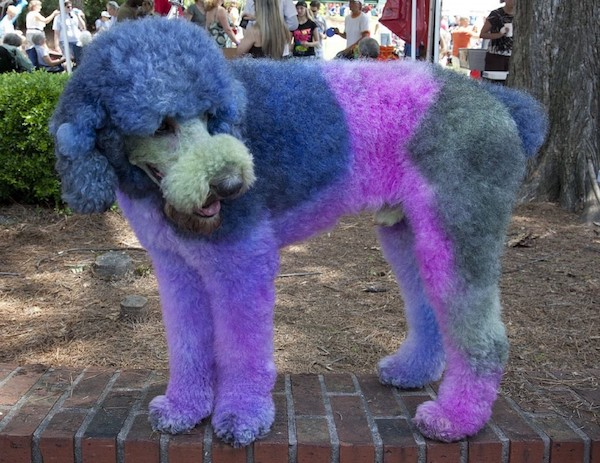 Purple and blue poodle standing on a road