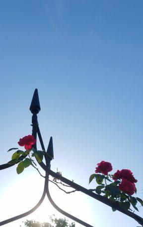 Red Rose + Blue Sky