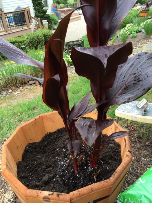 Planting a black Canna into a container