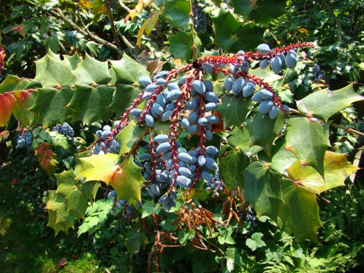 Blue black berries of Mahonia