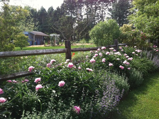 Herbaceous peonies with nepeta make a good combo