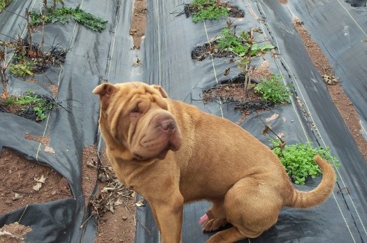 I went to a peony tree farm that was run by a Chinese family and took this picture of their Chinese Shar-Pei in the field