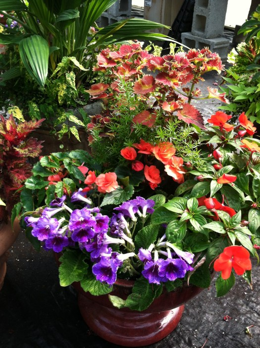 This one has that fun whirligig orange coleus, a streptocarpus (purple), tuberous Begonia, New Guinea Impatien, and Asparagus Fern