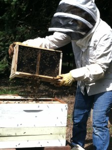 The shake down into the hives of thousands of bees