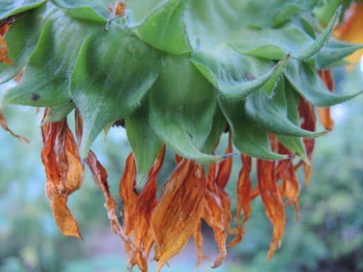 A mature head of the sunflower droops down with the weight of the ripening seeds