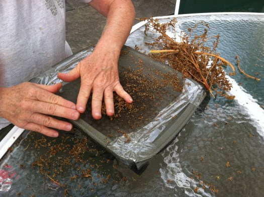 Rub the seed heads through a screen to harvest Amaranthus