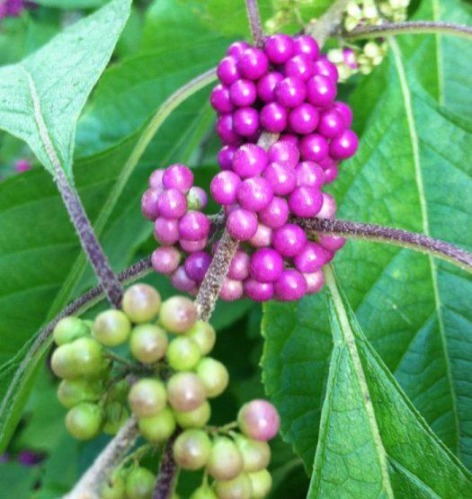 Purple beauty berries