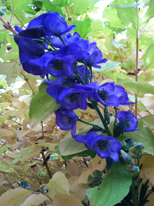 Monkshood with yellow twig dogwood in the fall