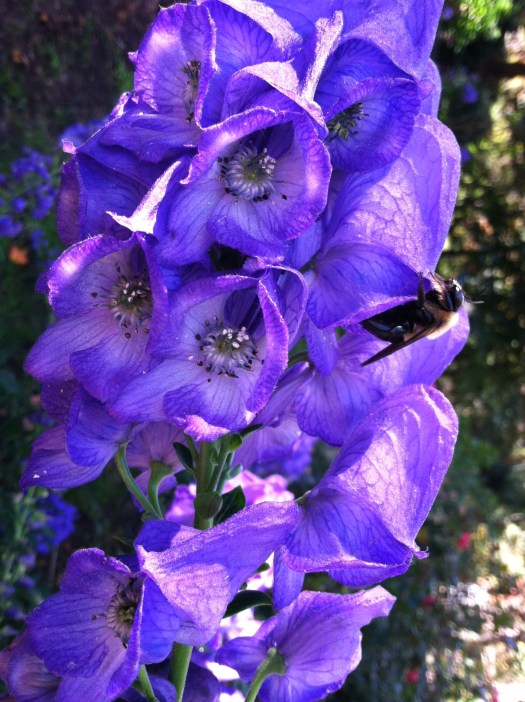 Monkshood in the garden