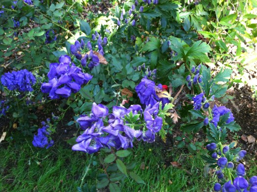 Monkshood in a perennial border
