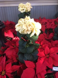 A white double poinsettia